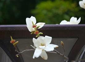 一组万寿公园的玉兰花开图片