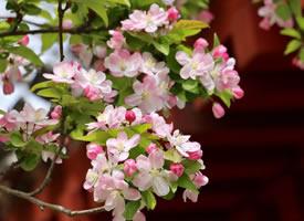 海棠花溪的春天来了