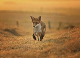 """""""笑""""起来治愈迷人的狐狸"""