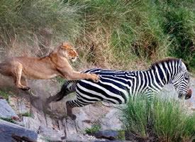 野生动物世界竞争极其激烈