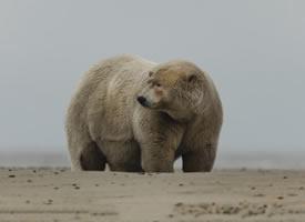 一组超重的北极熊图片
