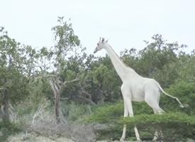 一组稀有的白色长颈鹿图片