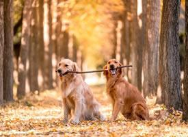 默契度一流的两只金毛狗狗