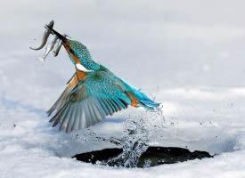 蓝色闪电翠鸟图片