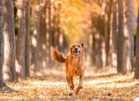 安静美好秋景中的金毛狗狗