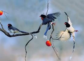 一组漂亮的喜鹊图片
