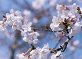 唯美淡雅樱花风景图片桌面壁纸