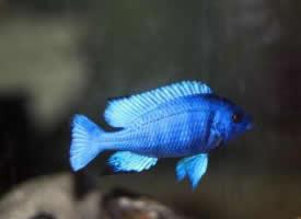 魅力无边的蓝宝石鱼