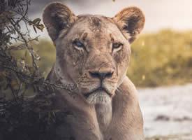 丛林灰色母狮子摄影电脑壁纸