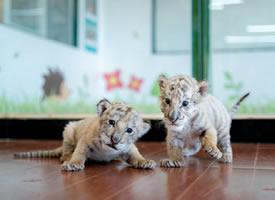 杭州野生动物世界的小白虎双胞胎