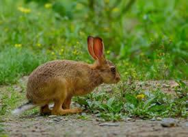 一组灰色可爱的野兔子图片
