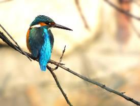 翠鸟是一种中型的水鸟