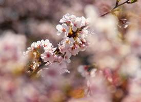 盛開、凋落、自然而然的樱花