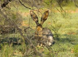 竖起耳朵的兔子图片