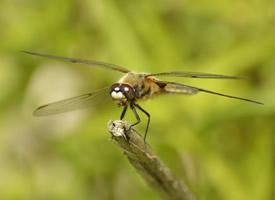 一组蜻蜓唯美高清图片