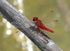 一组自由自在的蜻蜓图片