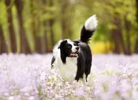 紫色花海中可爱的边牧狗狗
