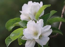一组清新淡雅的白色海棠花
