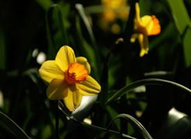 一组美丽洋气的水仙花图片