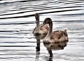 水中游泳的鸭子图片欣赏