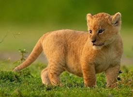小时候超可爱的狮子图片欣赏