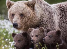 熊妈妈和熊孩子温馨图片欣赏
