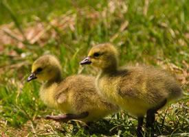 鸭妈妈和小鸭子的可爱图片