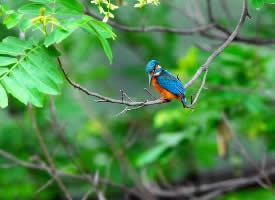 茂密大树上的翠鸟图片