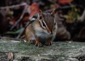 正在吃午餐的花栗鼠图片