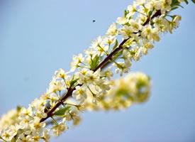 一组美丽凌静的梨花图片