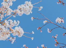 春光中的风景樱花图片桌面壁纸