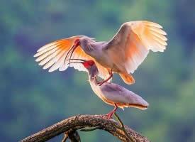 美丽的朱鹮鸟图片