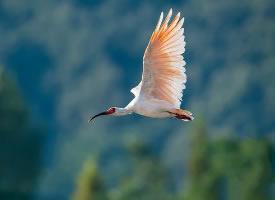 美丽非凡的朱鹮鸟图片