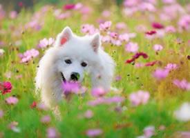 在五彩缤纷花朵里的萨摩耶