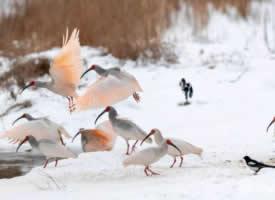 摄影师镜头下朱鹮鸟