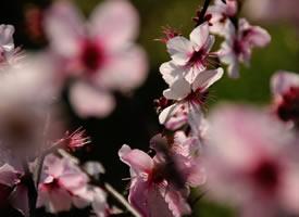 一组唯美清新的桃花图片