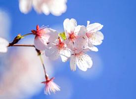 洁白樱花唯美高清桌面壁纸