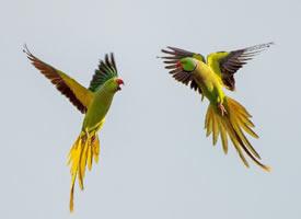 热恋中的印度鹦鹉突然翻脸