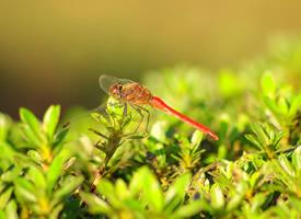 一组清晰的蜻蜓图片欣赏