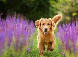 一组活泼好动的金毛狗狗