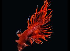 色彩艳丽的斗鱼