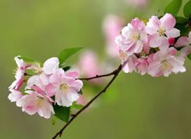一组唯美粉色的海棠花