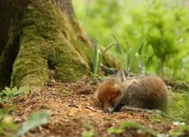 摄影师镜头下的狐狸宝宝