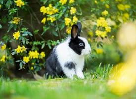 一组可爱胖胖的黑白色小兔子