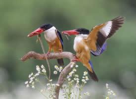 色彩艳丽的蓝翡翠鸟图片
