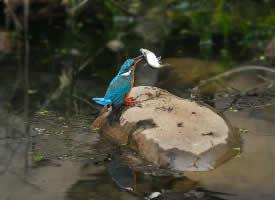 正在捕鱼的翠鸟图片