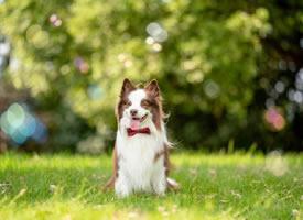 可爱爱笑的边牧狗狗图片