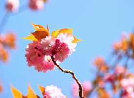 很粉很粉的樱花图片