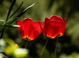代表希望与热情的郁金香