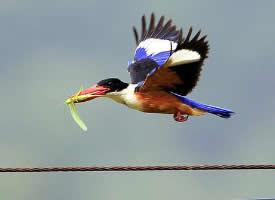 色泽美丽的蓝翡翠鸟图片
